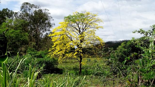 Ipê amarelo, já com algumas folhas verdes; Santo Antônio de Pádua-RJ (foto do autor).